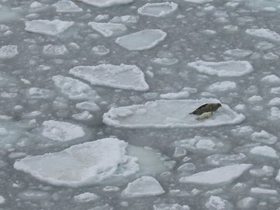 For Seal Pups on Thin Ice, a Short Childhood   OUR OCEANS NEED US   Scoop.it
