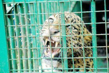 Roads turn killer for big cats in Karnataka - Times of India | Cats Rule the World | Scoop.it