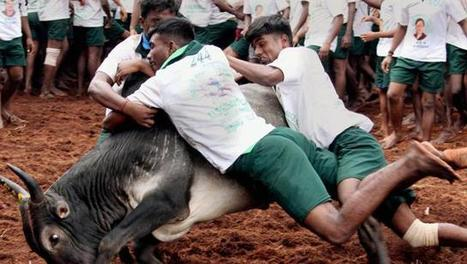 Ban horse racing, dog shows too, demand Jallikattu  supporters | Animals R Us | Scoop.it