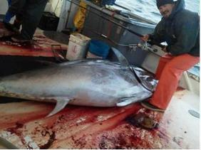 FAO appraises tuna fisheries worldwide - World Fishing | Aquaculture Products & Marketing Network | Scoop.it