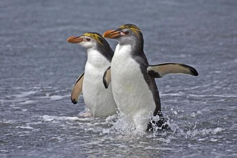 Royal Penguin | All about water, the oceans, environmental issues | Scoop.it