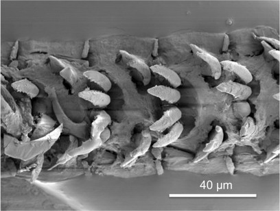 Scientists have discovered nature's newest strongest material | biomimicry as design strategy | Scoop.it