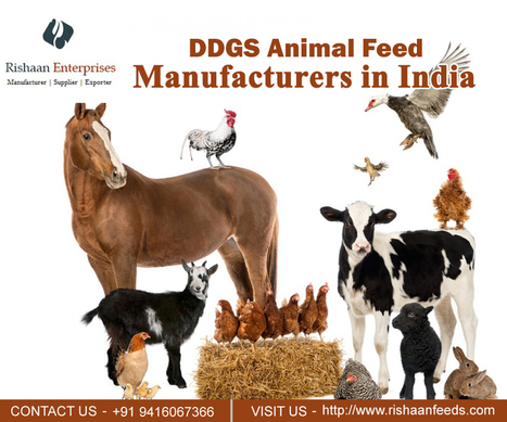cattle feed' in DDGS feed Manufacturer | Scoop it