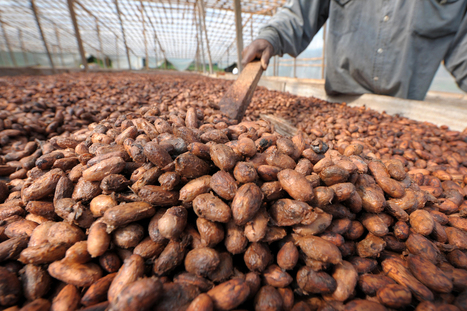 These Ivory Coast Cacao Farmers Had Never Tasted Chocolate | Fairly Traded News | Scoop.it