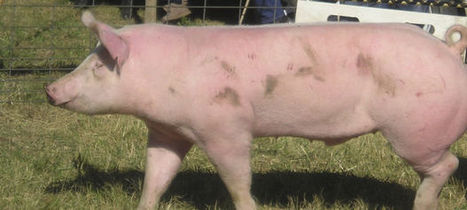Hurt: Falling feed prices to push hogs back to profitable - Farm and Ranch Guide | Livestock | Scoop.it