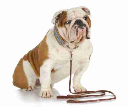 Qui tire sur la laisse, vous ou votre chien
