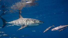 La population de grands requins blancs est en augmentation dans le Pacifique | Biodiversité, Herpétologie, Ichtyologie, Entomologie... | Scoop.it