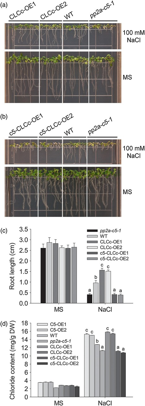 Overexpression of PP2A‐C5 that encodes the catalytic subunit 5 of protein phosphatase 2A in Arabidopsis confers better root and shoot development under salt conditions | Plant Gene Seeker -PGS | Scoop.it