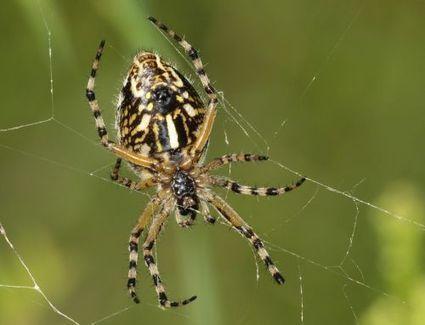 En bref : des araignées de nos jardins mangent aussi du pollen | EntomoNews | Scoop.it