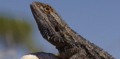 Le dragon barbu, lézard de terrariophilie, apprend... en imitant | Biodiversité, Herpétologie, Ichtyologie, Entomologie... | Scoop.it