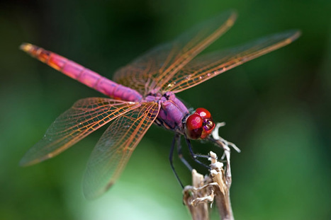 Dragonflies Show Human-like Selective Attention | EduTech Chat | Scoop.it
