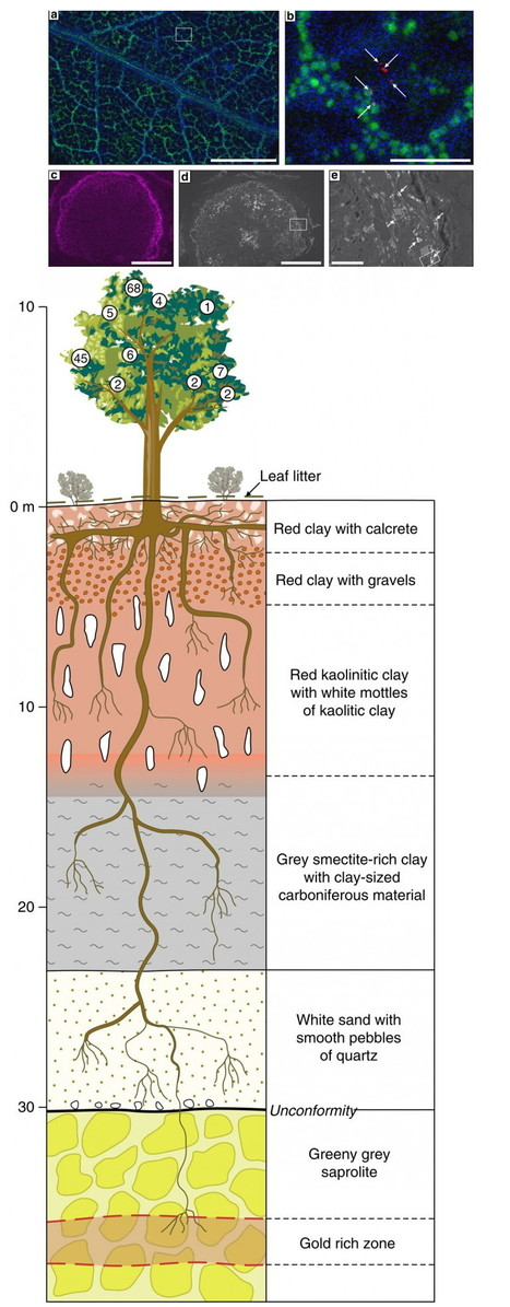 Money does grow on trees: Gold found in tree leaves, leads to vast hidden underground deposits | Amazing Science | Scoop.it
