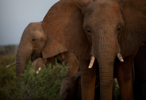 One time poacher become wildlife protector in Kenya   Wildlife Trafficking: Who Does it? Allows it?   Scoop.it