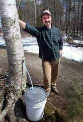 Birch syrup explored as add-on to maple industry | Food issues | Scoop.it