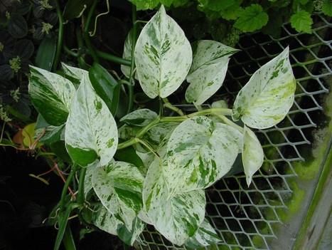 What You Need To Know About Variegated Plant Leaves | Gardening Galore | Scoop.it