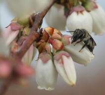 Researchers Develop System for Assessing How Effective Species Are at Pollinating Crops | North Carolina Agriculture | Scoop.it