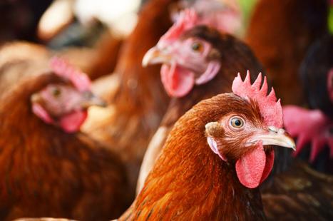 Une étude révèle que les poules pourraient dominer le monde dans ...   Networking the world - Espace et réseaux   Scoop.it