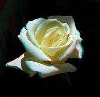 Roses, from WahZ andMaureen | Ireland Travel | Scoop.it
