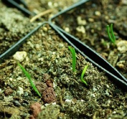 Buying Ephedra Sinica Seeds to Grow and Cultiva