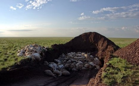 Death on the Steppes: Mystery Disease Killed 100,000 Saigas in Recent Weeks | Earth Rangers' Science Content | Scoop.it