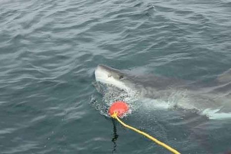Great white swims into girl's shark cage | Indigo Scuba | Scoop.it