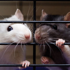 Rats Display Altruism: Scientific American   On Being Human   Scoop.it