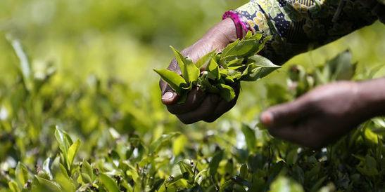 Les sachets de thé contiendraient jusqu'à 17pesticides, selon «60millions de consommateurs»