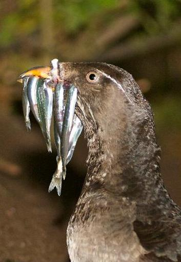Bacteria control levels of dangerous pollutant in seabirds   Gaia Diary   Scoop.it