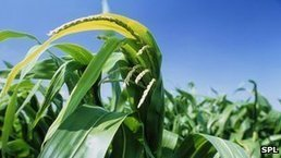 Time for a re-think on GM crops? | The Barley Mow | Scoop.it