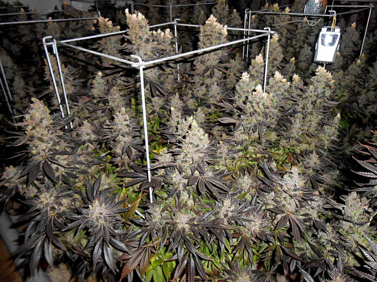 Which Strain Breeder Grow Weed Easy Grow W
