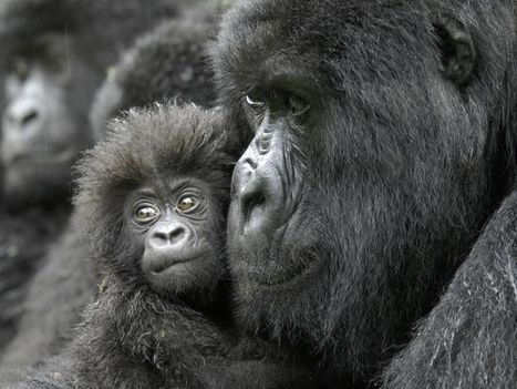 Over half of world's apes and monkeys in danger of extinction. @investorseurope #brave   Culture, Humour, the Brave, the Foolhardy and the Damned   Scoop.it