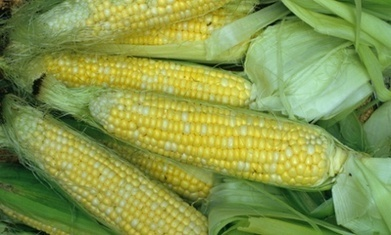 Corn biofuels worse than gasoline on global warming in short term – study | The Great Transition | Scoop.it