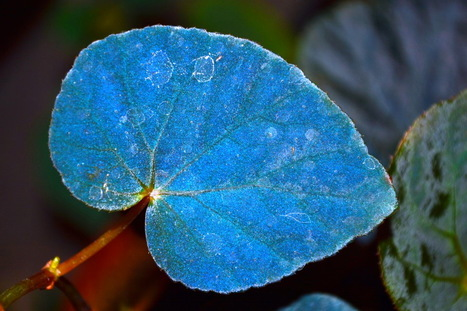 Quantum trickery: Mystery of begonia's bizarre iridescent blue leaves is solved | Scientific anomalies | Scoop.it