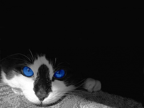 15 Cute Photography of blue eyed cats | inspiration photos | AMAZING WORLD IN PICTURES | Scoop.it