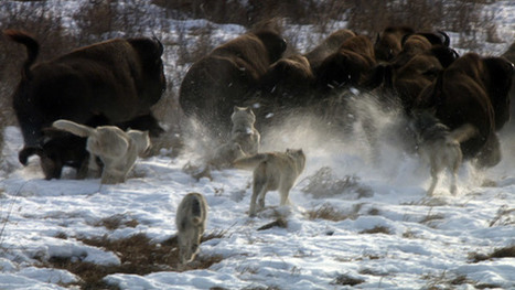 The Buffalo Wolves - where wolves prey on buffalo | NWT News | Scoop.it