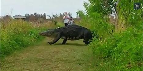 Un énorme alligator filmé dans une réserve naturelle en Floride | Biodiversité | Scoop.it