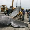 The Australian government should oppose Japanese whaling in Antarctica.
