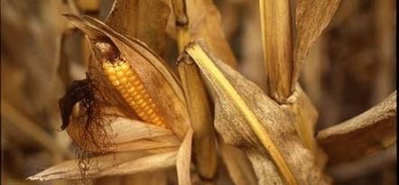 OGM : une proposition de loi contre le maïs Mon810 | agro-media.fr | Actualité de l'Industrie Agroalimentaire | agro-media.fr | Scoop.it