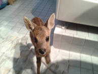 Baby deer loses way and wanders into supermarket parking lot - ANSA English - ANSA.it | Learning English Matters | Scoop.it