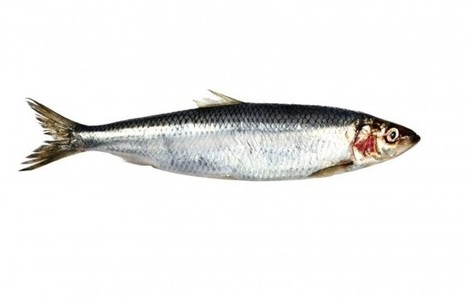 Herring Return to Bay Area Waters (and Plates)   Food and Environment Reporting Network   Sustain Our Earth   Scoop.it