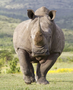 Hundreds of Kruger rhino to be moved - report - News24 | Save our Rhino and all animals...this is what it looks like!!!!! | Scoop.it