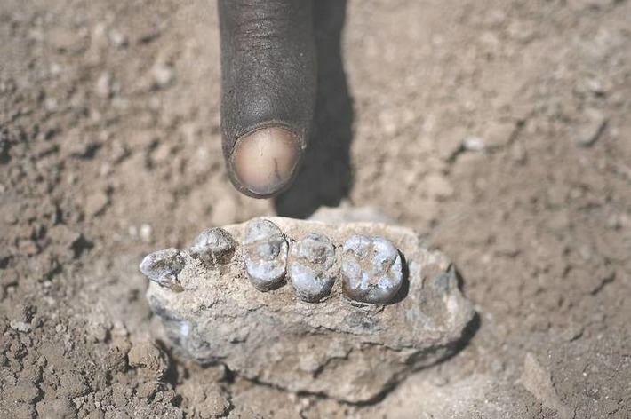 Ethiopia hominid fossil seems to predate 'Lucy' as our forerunner: scientists | The Japan Times | Kiosque du monde : Afrique | Scoop.it