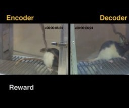 Scientists link rat brains together over the internet to transfer sensory information   The 21st Century   Scoop.it