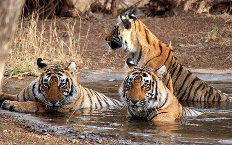 Whildlife Tours India.India wildslife tours.Ranthbore Tours.Jungle Tours | Tourist Drivers India | Scoop.it