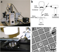 Single-cell axotomy of cultured hippocampal neurons integrated in neuronal circuits | Neuroscience_technics | Scoop.it