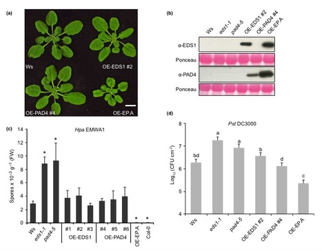 A core function of EDS1 with PAD4 is to protect the salicylic acid defense sector in Arabidopsis immunity - Cui - 2016 - New Phytologist - Wiley Online Library | Plant-microbe interaction | Scoop.it
