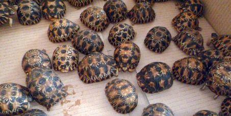 A Roissy, des bébés tortues étoilées de Madagascar saisies sous des concombres de mer | Biodiversité, Herpétologie, Ichtyologie, Entomologie... | Scoop.it