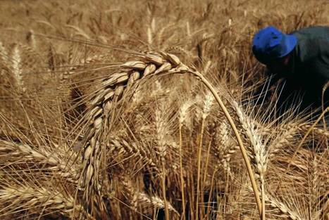 Egypt public prosecutor says $70 mln worth of local wheat falsely claimed | Wheat World | Scoop.it