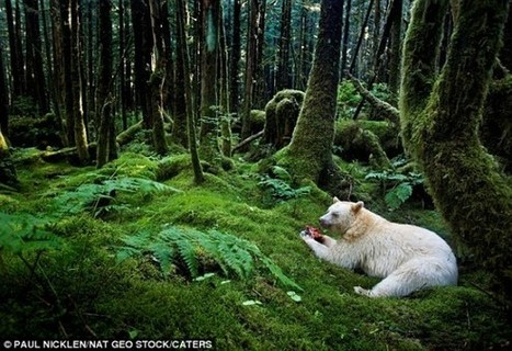 Rare White Kermode Spirit Bear Photographed In B.C. Canada | Global Animal | Life on Earth | Scoop.it