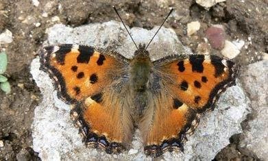 On the trail of the large tortoiseshell, the UK's most elusive butterfly | Conservation Biology, Genetics and Ecology | Scoop.it